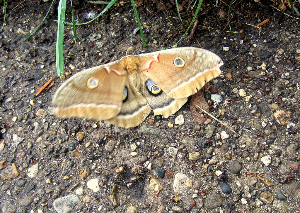 天蠶蛾 Polyphemus Moth | myarchetypes